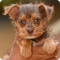 Adopt A Pet :: De niro - Los Angeles, CA