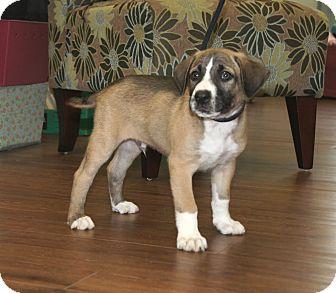 Catahoula Leopard Dog/Labrador Retriever Mix Puppy for adoption in Brattleboro, Vermont - Diesel 🚂 ADOPTED!