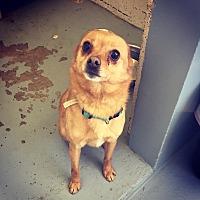 Adopt A Pet :: Kayu - Seattle, WA