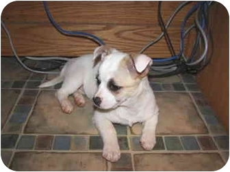 Jack Russell Terrier/American Eskimo Dog Mix Puppy for adoption in North Wilkesboro, North Carolina - Josie