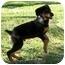 Photo 1 - Rottweiler Puppy for adoption in Cedar Creek, Texas - Axel