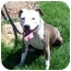 Photo 3 - American Pit Bull Terrier Dog for adoption in All of Colorado, Colorado - Brenna
