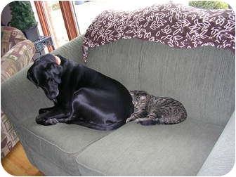 Labrador Retriever Mix Dog for adoption in Acme, Pennsylvania - Solie