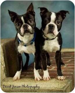 Boston Terrier Dog for adoption in Anchorage, Alaska - Ziggy