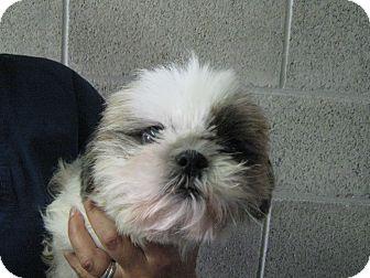 Shih Tzu Mix Dog for adoption in Lake Odessa, Michigan - Juliette