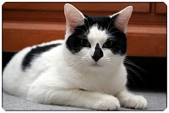 Domestic Shorthair Cat for adoption in Sterling Heights, Michigan - Cindi