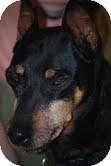 Miniature Pinscher Dog for adoption in Cranford, New Jersey - Rosco