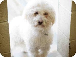 Bichon Frise/Poodle (Miniature) Mix Dog for adoption in Encino, California - Gatsby