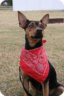 Miniature Pinscher Dog for adoption in Glastonbury, Connecticut - Baby