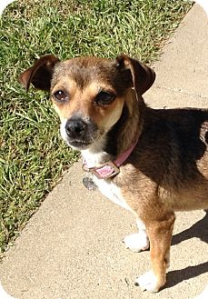 Beagle/Dachshund Mix Dog for adoption in Santa Ana, California - Rosie