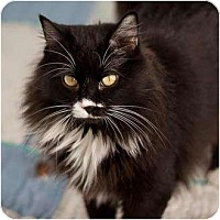 Domestic Longhair Cat for adoption in Denver, Colorado - Mabel