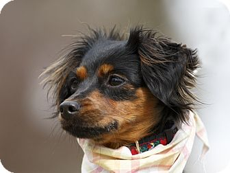 Miniature Pinscher Mix Dog for adoption in Ile-Perrot, Quebec - Skippie