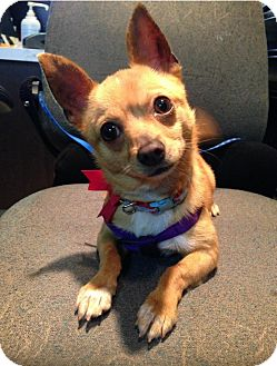 Chihuahua Mix Dog for adoption in Caledon, Ontario - Small Fry