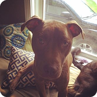 Labrador Retriever/Pit Bull Terrier Mix Dog for adoption in Clarkston, Michigan - Rocky