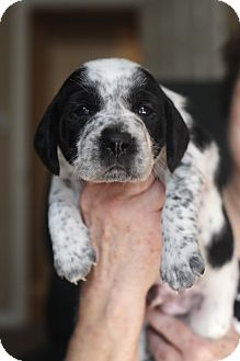 Beagle/Australian Shepherd Mix Puppy for adoption in Memphis, Tennessee - Cupid
