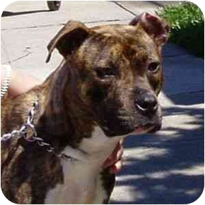 American Staffordshire Terrier Mix Puppy for adoption in Berkeley, California - Delores