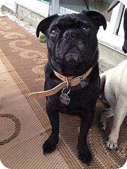 Pug Dog for adoption in Morgantown, West Virginia - Eemur