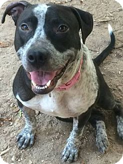 Australian Cattle Dog Mix Dog for adoption in West Hartford, Connecticut - Smiley
