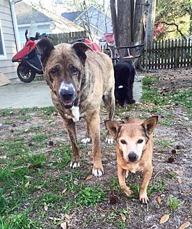 Pit Bull Terrier/Chihuahua Mix Dog for adoption in Asheville, North Carolina - Spunky and Chick (Courtesy)