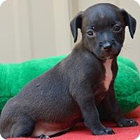 Adopt A Pet :: Joslin - Pleasant Plain, OH
