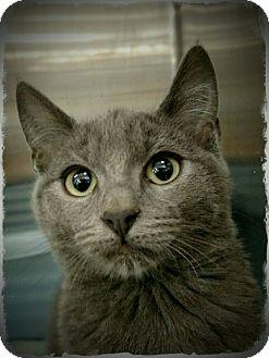 Domestic Shorthair Cat for adoption in Pueblo West, Colorado - Xanadu