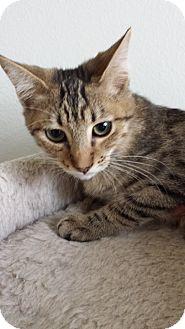 Domestic Shorthair Kitten for adoption in Westminster, California - Buckskin