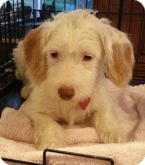 Poodle (Miniature)/Westie, West Highland White Terrier Mix Dog for adoption in Houston, Texas - Tammy