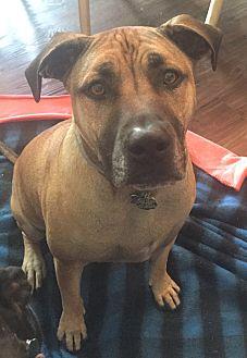 Bullmastiff/American Staffordshire Terrier Mix Dog for adoption in Sacramento, California - Buster