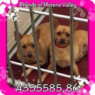Chihuahua Mix Dog for adoption in San Bernardino, California - URGENT CHI Girls Moreno Valley