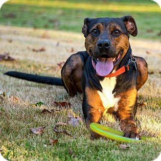 Hound (Unknown Type)/Doberman Pinscher Mix Dog for adoption in Arlington, Virginia - Remy
