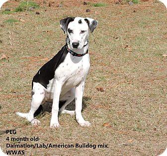 Dalmatian/Labrador Retriever Mix Puppy for adoption in Washington, Georgia - Peg