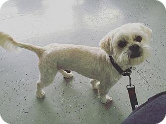 Shih Tzu/Terrier (Unknown Type, Small) Mix Dog for adoption in San Diego, California - Bernie