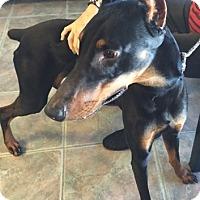 Adopt A Pet :: Drako - Canoga Park, CA