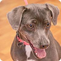 Adopt A Pet :: Penelope - PORTLAND, ME