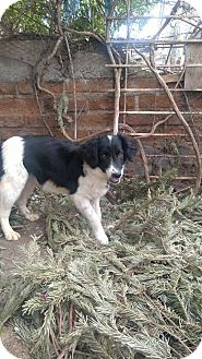 Border Collie/Spaniel (Unknown Type) Mix Puppy for adoption in cupertino, California - Katy