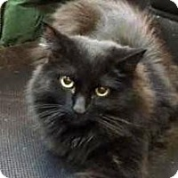 Adopt A Pet :: Shadow - Fairfax, VA
