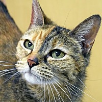Adopt A Pet :: Cleo - Norwalk, CT