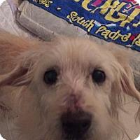 Adopt A Pet :: Dewey - Seattle, WA
