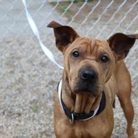 Adopt A Pet :: ZuZu - Muskegon, MI