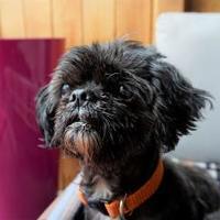 Adopt A Pet :: Ying - Seattle, WA