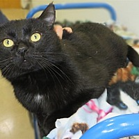 Domestic Shorthair Cat for adoption in Indiana, Pennsylvania - King