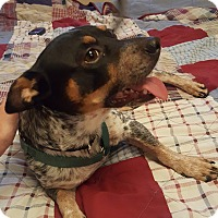 Terrier (Unknown Type, Small) Mix Dog for adoption in Tempe, Arizona - Rocco