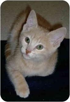 Domestic Shorthair Kitten for adoption in Davis, California - Sam