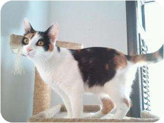 Calico Kitten for adoption in New York, New York - Cranberry