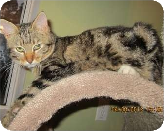 Domestic Mediumhair Kitten for adoption in Bunnell, Florida - Bunny