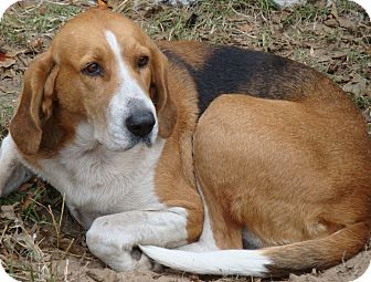 Coonhound Dog for adoption in Sneads Ferry, North Carolina - Ginger