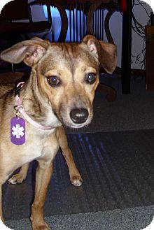 German Shepherd Dog/Miniature Pinscher Mix Puppy for adoption in Port Clinton, Ohio - Angel