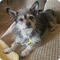 Adopt A Pet :: Taz - Goodyear, AZ