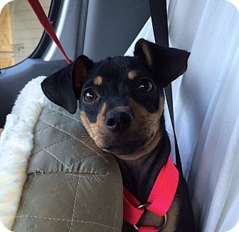Chihuahua/Miniature Pinscher Mix Puppy for adoption in Mead, Washington - Opus