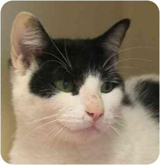 Domestic Shorthair Cat for adoption in Coquitlam, British Columbia - Dominique